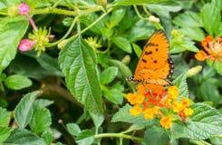 Monarchbasisrecheneinheit im Garten Lizenzfreie Stockfotos