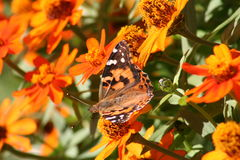 Monarchbasisrecheneinheit nahe Blumen Stockbild