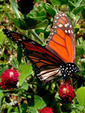 MonarchButterfly4 Stock Photography