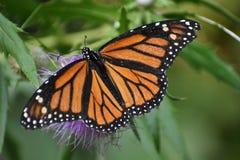 Monarche Butterfly. Orange butterfly on purple thistle royalty free stock photo