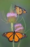 Monarchen auf Karde Lizenzfreies Stockfoto