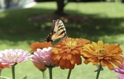 Monarchen en Zinnias Royalty-vrije Stock Afbeelding