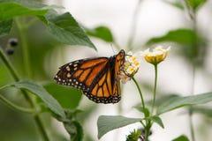 Monarchenvlinders Royalty-vrije Stock Foto's