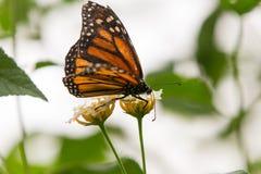 Monarchenvlinders Stock Afbeelding