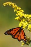 Monarchfalter Lizenzfreie Stockfotos