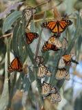 Monarchfalter Stockfoto