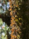 Monarchfalter auf Baumstamm Stockfoto