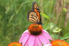 Monarchfalter auf Blacksamson-Echinaceablume Stockbild