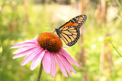 Monarchfalter auf Blacksamson-Echinaceablume Stockbilder