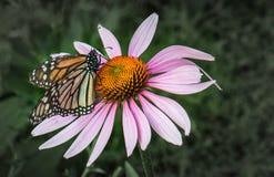 Monarchfalter auf einer purpurroten Blume Stockbilder