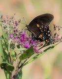 Monarchfalter auf einer purpurroten Blume Lizenzfreies Stockfoto