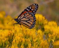 Monarchfalter auf Kaninchen-Bürste Stockfoto