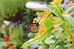 Monarchfalter auf Milkweed lizenzfreie stockfotos