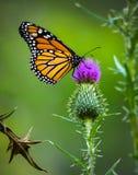 Monarchfalter auf purpurrotem Distel-Grün-Hintergrund lizenzfreie stockfotos