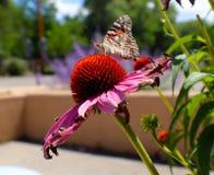 Monarchfalter auf rosa Gänseblümchen vor Lehmziegelmauer und Lavendel stockfotografie
