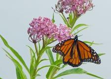 Monarchfalter auf rosa Milkweed Stockbild