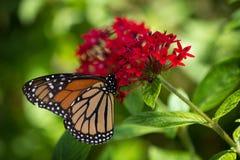 Monarchfalter auf roter Blume Lizenzfreies Stockbild