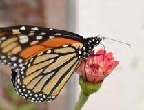 Monarchfalter auf Zinnia lizenzfreie stockbilder