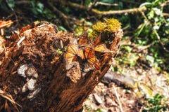 Monarchfalter-Biosphären-Reserve, Michoacan, Mexiko Lizenzfreies Stockfoto
