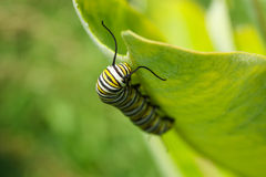 Monarchfalter-Caterpillar-Larven Lizenzfreie Stockfotos
