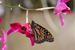 Monarchfalter (Danaus plexippus) auf einer purpurroten Orchidee Stockfotografie