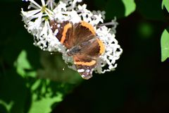 Monarchfalter Danaus plexippus, das auf Schmetterling Bush isst stockbilder