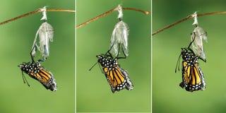 Monarchfalter Danaus plexippus, das seine Flügel nach emer trocknet stockfotografie