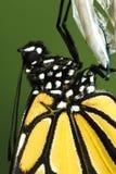 Monarchfalter, Danaus plexippus Detail stockbilder