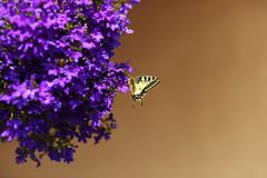 Monarchfalter, der auf blauen Blumen stillsteht Lizenzfreie Stockfotos
