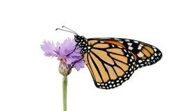 Monarchfalter, der auf einem purpurroten Cornflower stillsteht Stockfotografie