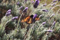 Monarchfalter, der auf Lavendelblumen sitzt stockbild