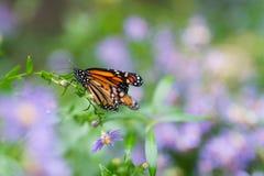 Monarchfalter, der auf purpurroter und grüner Blume/Anlage stillsteht Stockbilder