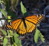 Monarchfalter, der auf Tomatenpflanze stillsteht Lizenzfreies Stockbild
