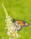 Monarchfalter, der auf weiße Blumen einzieht Lizenzfreies Stockfoto