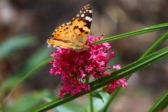 Monarchfalter an der Blume im botanischen Garten in Baku Azerbaijan Stockfotografie
