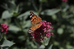 Monarchfalter an der Blume im botanischen Garten in Baku Azerbaijan Lizenzfreies Stockfoto