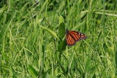 Monarchfalter, der ein Ei auf eine gemeine Milkweedanlage legt lizenzfreie stockbilder