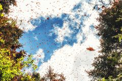 Monarchfalter, die bei Michoacan, Mexiko ankommen Stockfoto