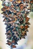 Monarchfalter, die eine Gruppe bilden, um während der Migration warm zu bleiben Lizenzfreies Stockbild