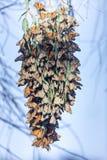 Monarchfalter, die eine Gruppe bilden, um während der Migration warm zu bleiben Stockbilder