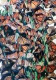 Monarchfalter-Gruppe Lizenzfreies Stockbild