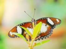 Monarchfalter im Garten lizenzfreie stockbilder