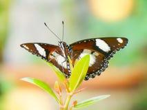 Monarchfalter im Garten stockfoto