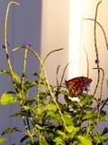 Monarchfalter im Hinterhofschmetterlingsgarten stockbild