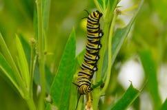 Monarchfalter-Larven lizenzfreie stockfotos