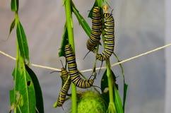Monarchfalter-Larven lizenzfreies stockbild