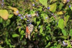 Monarchfalter, Michoacan, Mexiko Lizenzfreies Stockbild