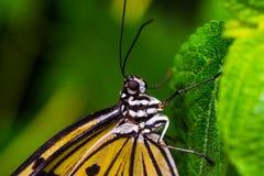 Monarchfalter mit einem grünen Hintergrund stockfotografie