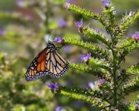 Monarchfalterfütterung Lizenzfreie Stockfotografie
