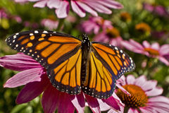 Monarchfalterflügelverbreitung auf Echinaceablumenabschluß oben Lizenzfreie Stockfotografie